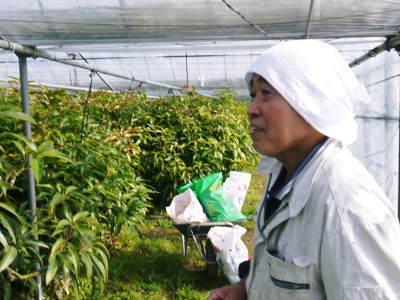 完熟アップルマンゴー 匠の判断でこの暖冬での育て方は変えています_a0254656_06112279.jpg