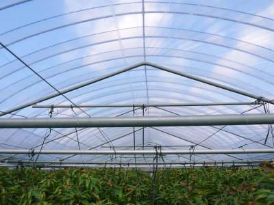 完熟アップルマンゴー 匠の判断でこの暖冬での育て方は変えています_a0254656_06124297.jpg
