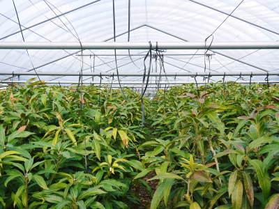 完熟アップルマンゴー 匠の判断でこの暖冬での育て方は変えています_a0254656_06134467.jpg
