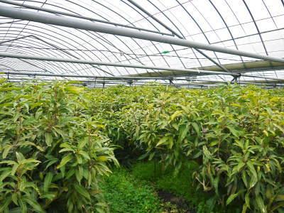完熟アップルマンゴー 匠の判断でこの暖冬での育て方は変えています_a0254656_06152238.jpg