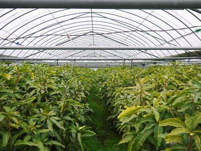 完熟アップルマンゴー 匠の判断でこの暖冬での育て方は変えています_a0254656_06175642.jpg