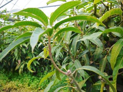 完熟アップルマンゴー 匠の判断でこの暖冬での育て方は変えています_a0254656_06294343.jpg