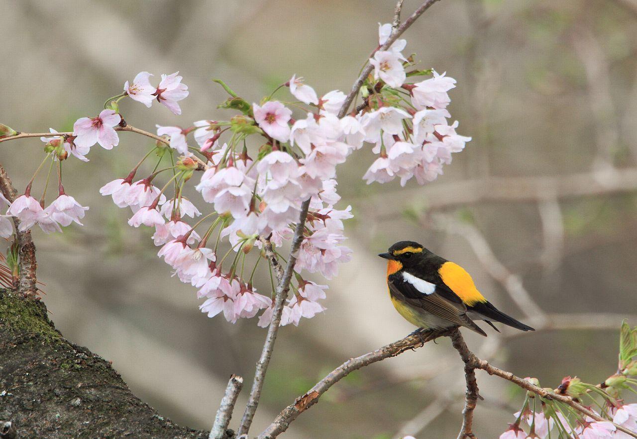 思い出の桜とキビタキ_f0105570_21171989.jpg