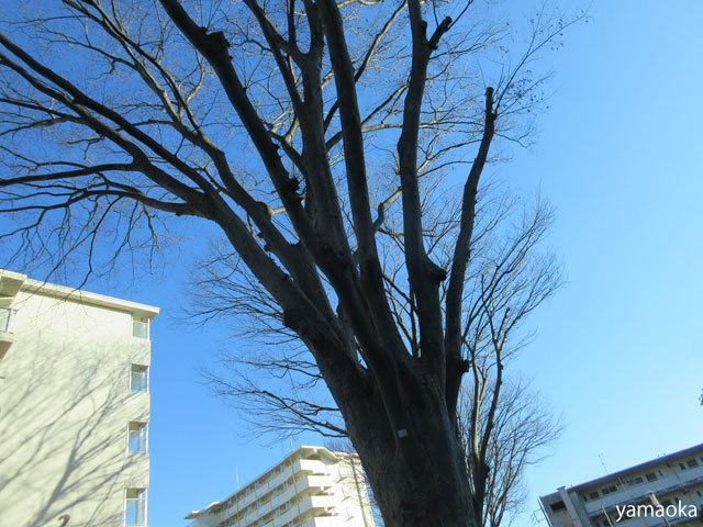 冬欅_f0071480_17535113.jpg