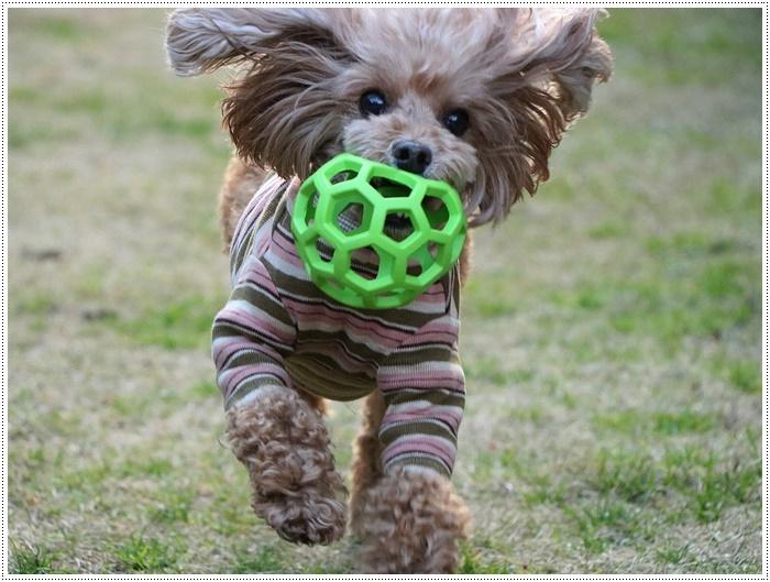 私がカメラを持って庭に出ると、条件反射のようにさくらがボールを咥える、面白いね~_b0175688_00055640.jpg