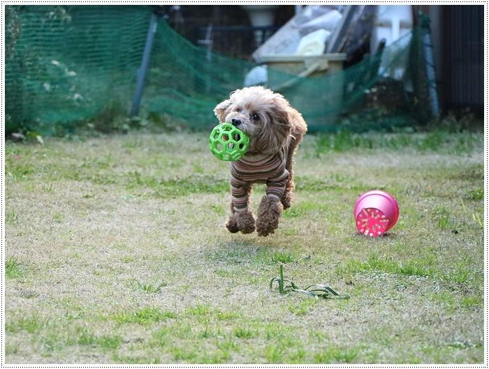 私がカメラを持って庭に出ると、条件反射のようにさくらがボールを咥える、面白いね~_b0175688_00055912.jpg