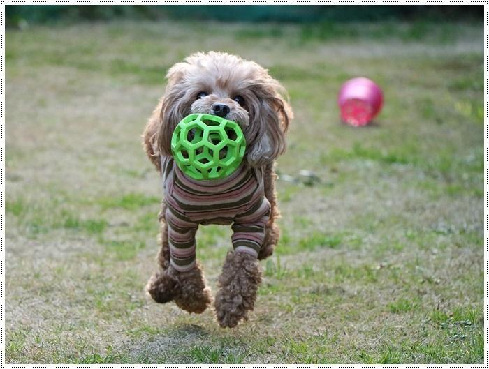 私がカメラを持って庭に出ると、条件反射のようにさくらがボールを咥える、面白いね~_b0175688_00060375.jpg