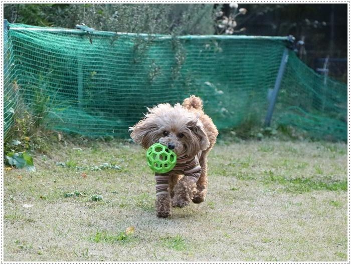 私がカメラを持って庭に出ると、条件反射のようにさくらがボールを咥える、面白いね~_b0175688_00085032.jpg
