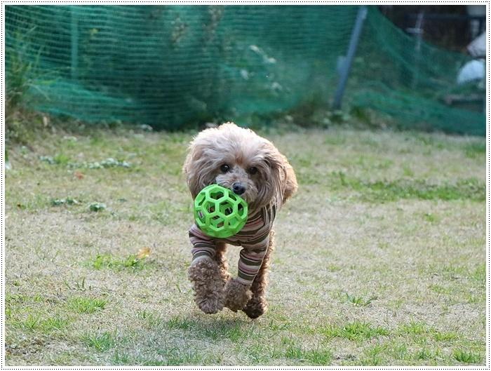 私がカメラを持って庭に出ると、条件反射のようにさくらがボールを咥える、面白いね~_b0175688_00090068.jpg