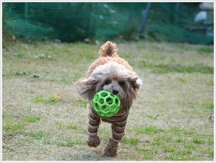 私がカメラを持って庭に出ると、条件反射のようにさくらがボールを咥える、面白いね~_b0175688_00090504.jpg