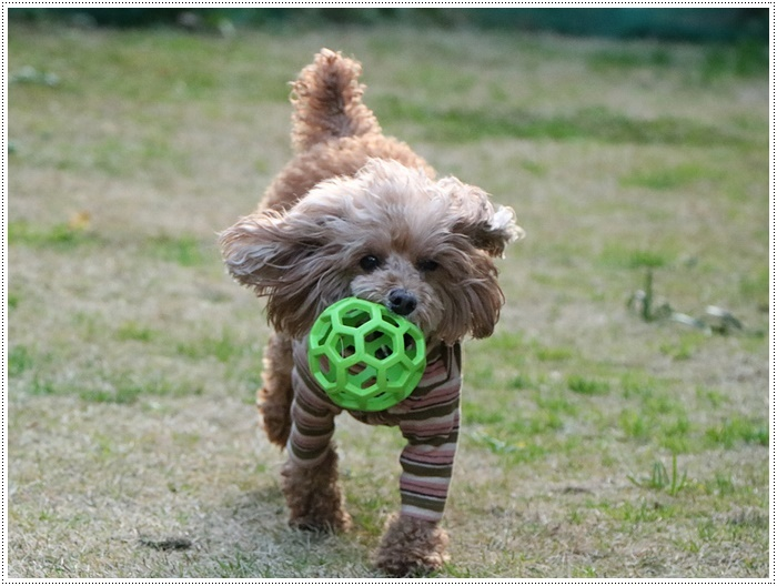 私がカメラを持って庭に出ると、条件反射のようにさくらがボールを咥える、面白いね~_b0175688_00090992.jpg