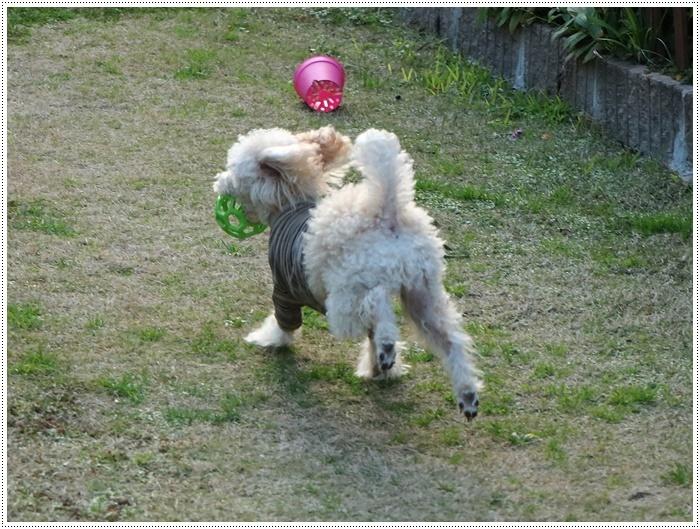 私がカメラを持って庭に出ると、条件反射のようにさくらがボールを咥える、面白いね~_b0175688_00114139.jpg