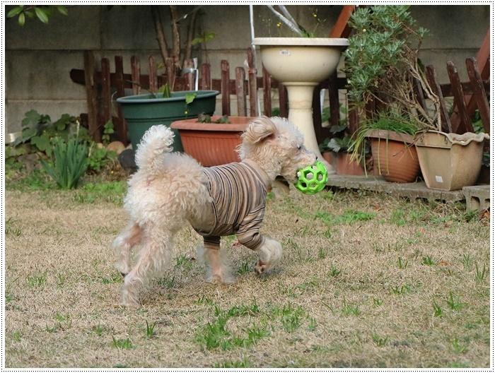 私がカメラを持って庭に出ると、条件反射のようにさくらがボールを咥える、面白いね~_b0175688_00114195.jpg