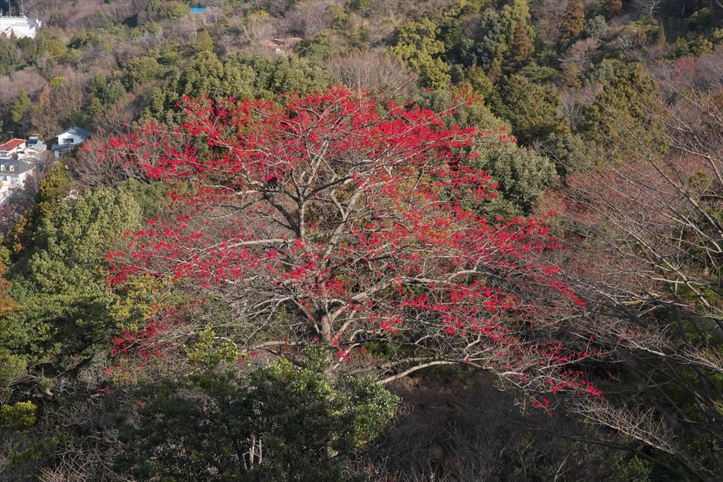 尾長山のタマミズキ(2020/01/11)_b0393210_02113722.jpg