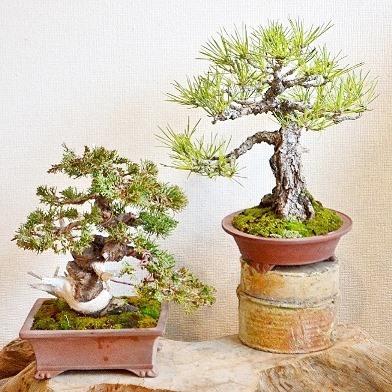 新春盆栽展はじまりました_d0263815_16260020.jpg