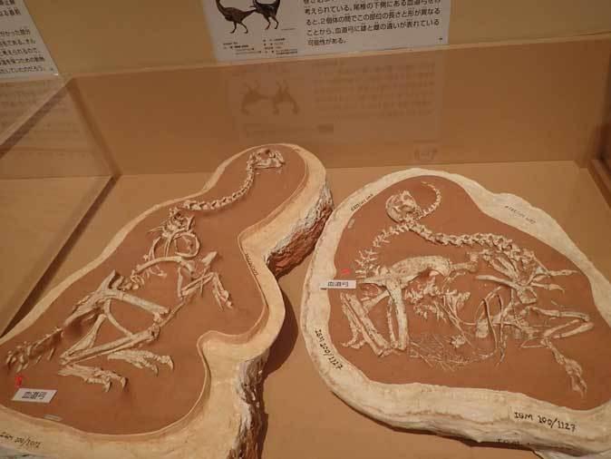 恐竜博2019:身を寄せ合うオヴィラプトル類とロミオ&ジュリエット_b0355317_14423775.jpg