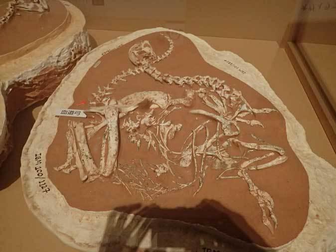 恐竜博2019:身を寄せ合うオヴィラプトル類とロミオ&ジュリエット_b0355317_14582572.jpg