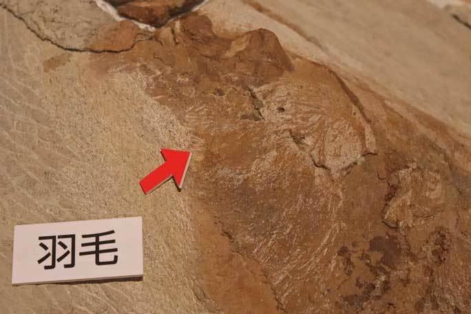 恐竜博2019:身を寄せ合うオヴィラプトル類とロミオ&ジュリエット_b0355317_15075596.jpg