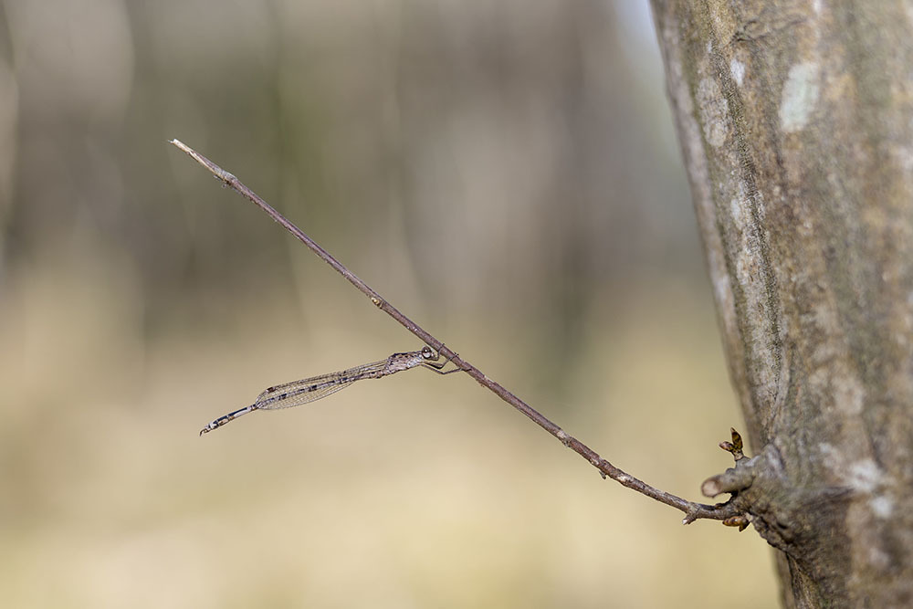 越冬トンボ観察-13 ホソミオツネントンボ(千葉-6)久しぶりに近所公園の自然_f0324026_18263636.jpg