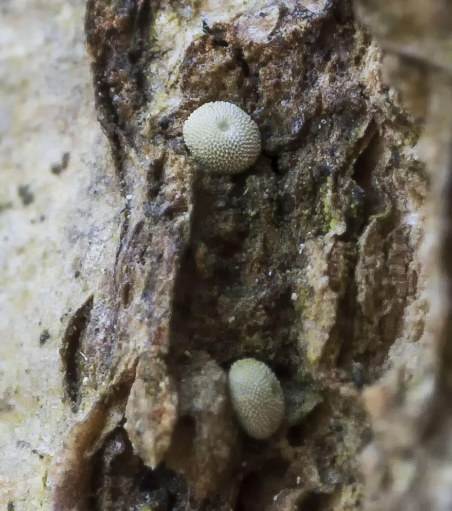 越冬トンボ観察-13 ホソミオツネントンボ(千葉-6)久しぶりに近所公園の自然_f0324026_18452618.jpg