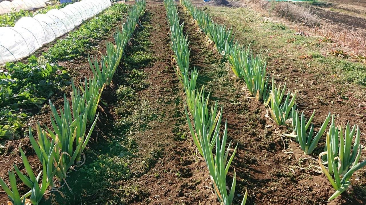今朝は 千貫君 飯田 岬さんの3名で作業です 葱の土寄せから始まってレモンバーベナのトンネル張り 等_c0222448_15271229.jpg