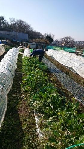 今朝は 千貫君 飯田 岬さんの3名で作業です 葱の土寄せから始まってレモンバーベナのトンネル張り 等_c0222448_15411744.jpg