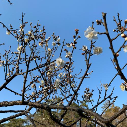 梅が咲き始めました。_b0105897_21045771.jpg
