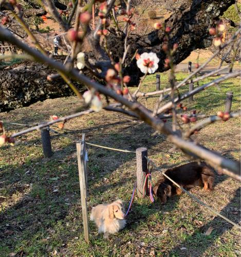 梅が咲き始めました。_b0105897_21045837.jpg
