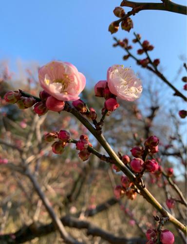 梅が咲き始めました。_b0105897_21050061.jpg