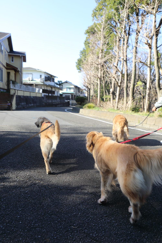 三頭でプラプラ散歩♪_b0275998_11282783.jpg