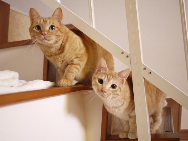 猫のお留守番 たくあんくんひのきくん編。_a0143140_22274148.jpg