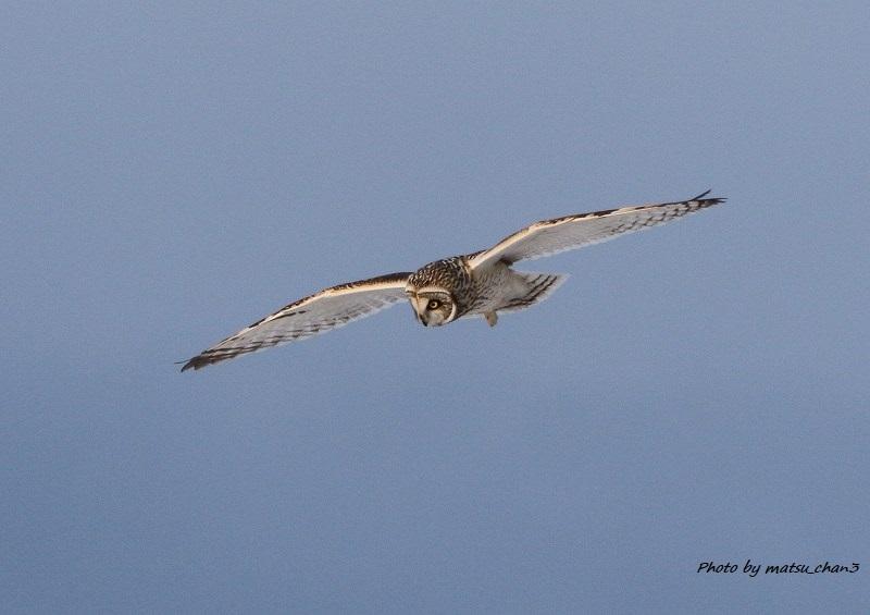 コミミズク Short-eared Owl_c0070654_16484702.jpg