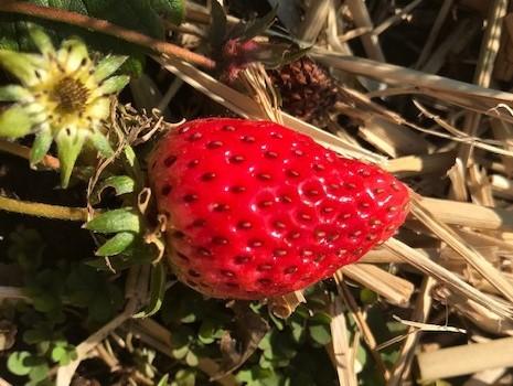 イチゴ初収穫、薪ストーブの灰届き、気分良く寒起こしを完了1・13_c0014967_15283944.jpg
