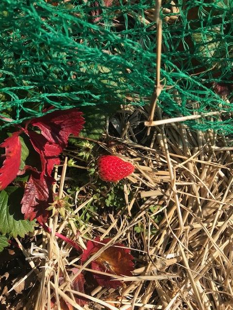 イチゴ初収穫、薪ストーブの灰届き、気分良く寒起こしを完了1・13_c0014967_15290506.jpg