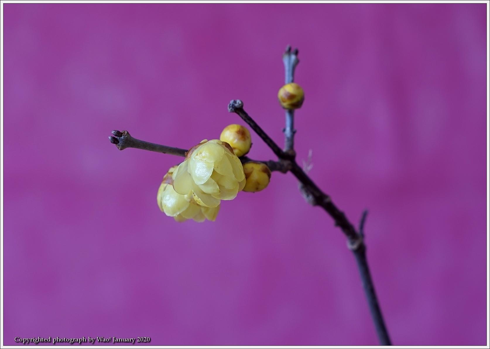蝋梅 早春の花_c0198669_17560074.jpg