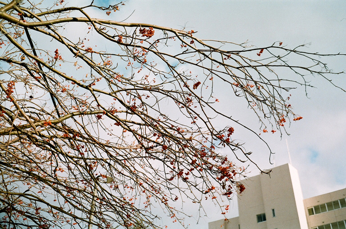 例年なら雪の下の草木たち_c0182775_16563574.jpg