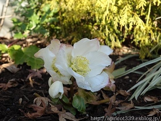 冬の庭で見つけた「小さな春」_c0293787_10291414.jpg