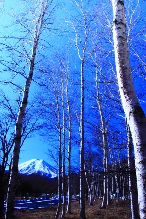 令和2年1月の富士 (8) 富士山麓の白樺の富士_e0344396_22195270.jpg