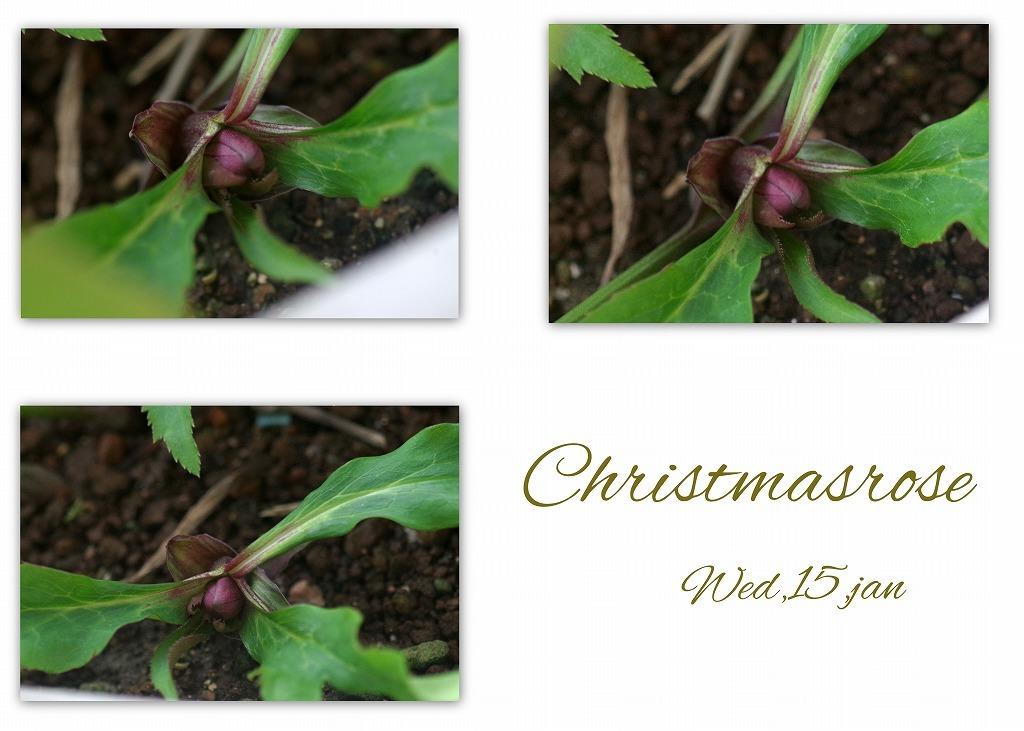 少し膨らんだクリスマスローズ_d0147812_21451580.jpg