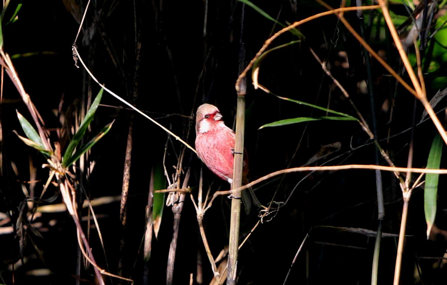 野鳥のオアシス その3(ベニマシコ)_f0239515_17262658.jpg