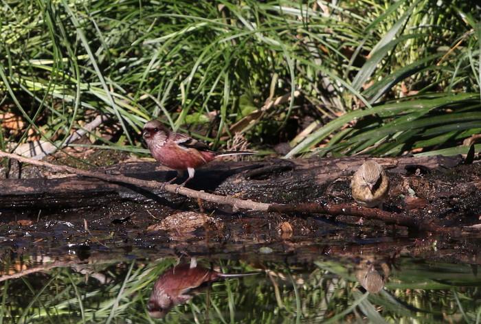野鳥のオアシス その3(ベニマシコ)_f0239515_17283356.jpg