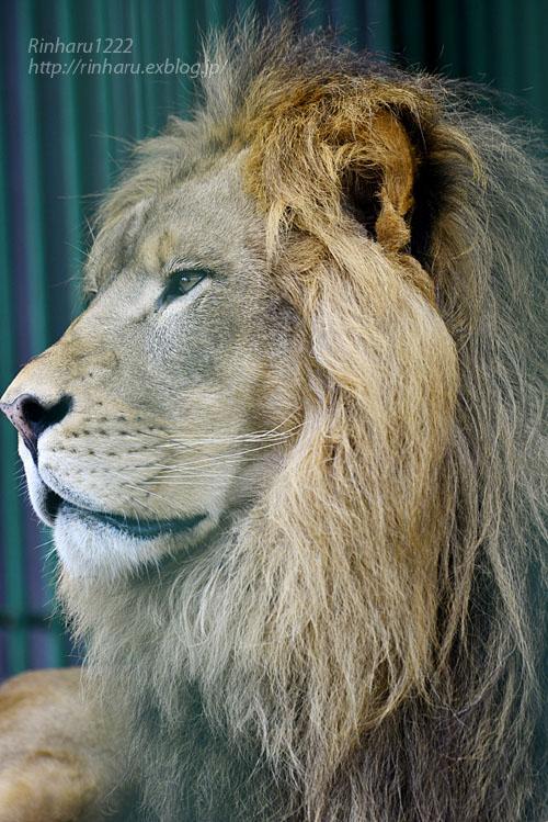 2019.10.5 東北サファリパーク☆白獅子ポップ&茶獅子ノゾム【Lions】_f0250322_2040327.jpg