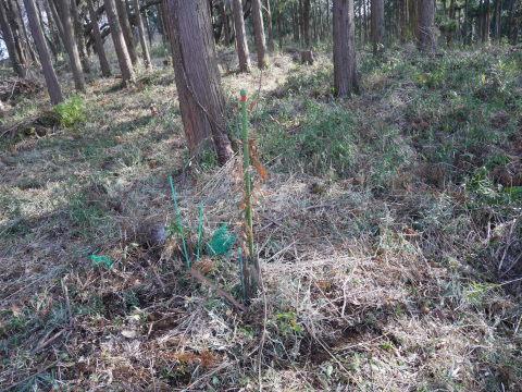 畑の実生のクリ、誤伐跡近くに移植2020・1・14_c0014967_18254690.jpg