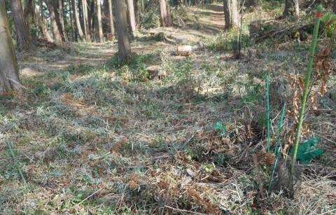畑の実生のクリ、誤伐跡近くに移植2020・1・14_c0014967_18291327.jpg