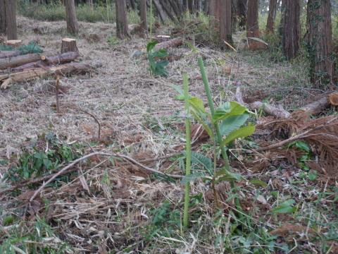 畑の実生のクリ、誤伐跡近くに移植2020・1・14_c0014967_18302622.jpg
