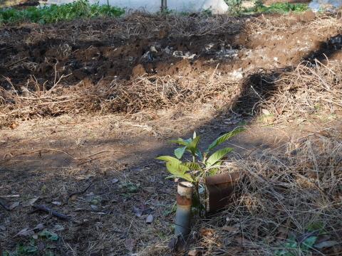 畑の実生のクリ、誤伐跡近くに移植2020・1・14_c0014967_18314550.jpg