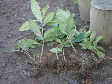 畑の実生のクリ、誤伐跡近くに移植2020・1・14_c0014967_18330861.jpg