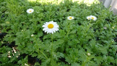 名古屋港水族館前花壇の植栽R2.1.15_d0338682_16212117.jpg