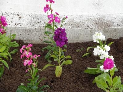 名古屋港水族館前花壇の植栽R2.1.15_d0338682_16241584.jpg