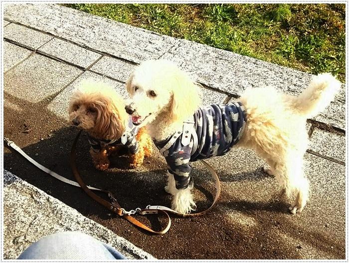 今日も寒い大分地方だったけど、さくらと大とパパさん、頑張って午前中からお散歩~_b0175688_20091594.jpg